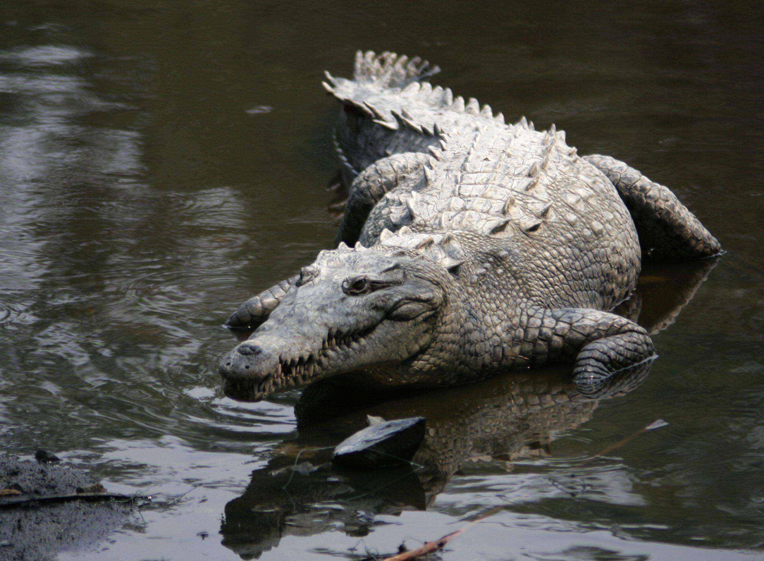 Crocodilo americano en los manglares colimenses