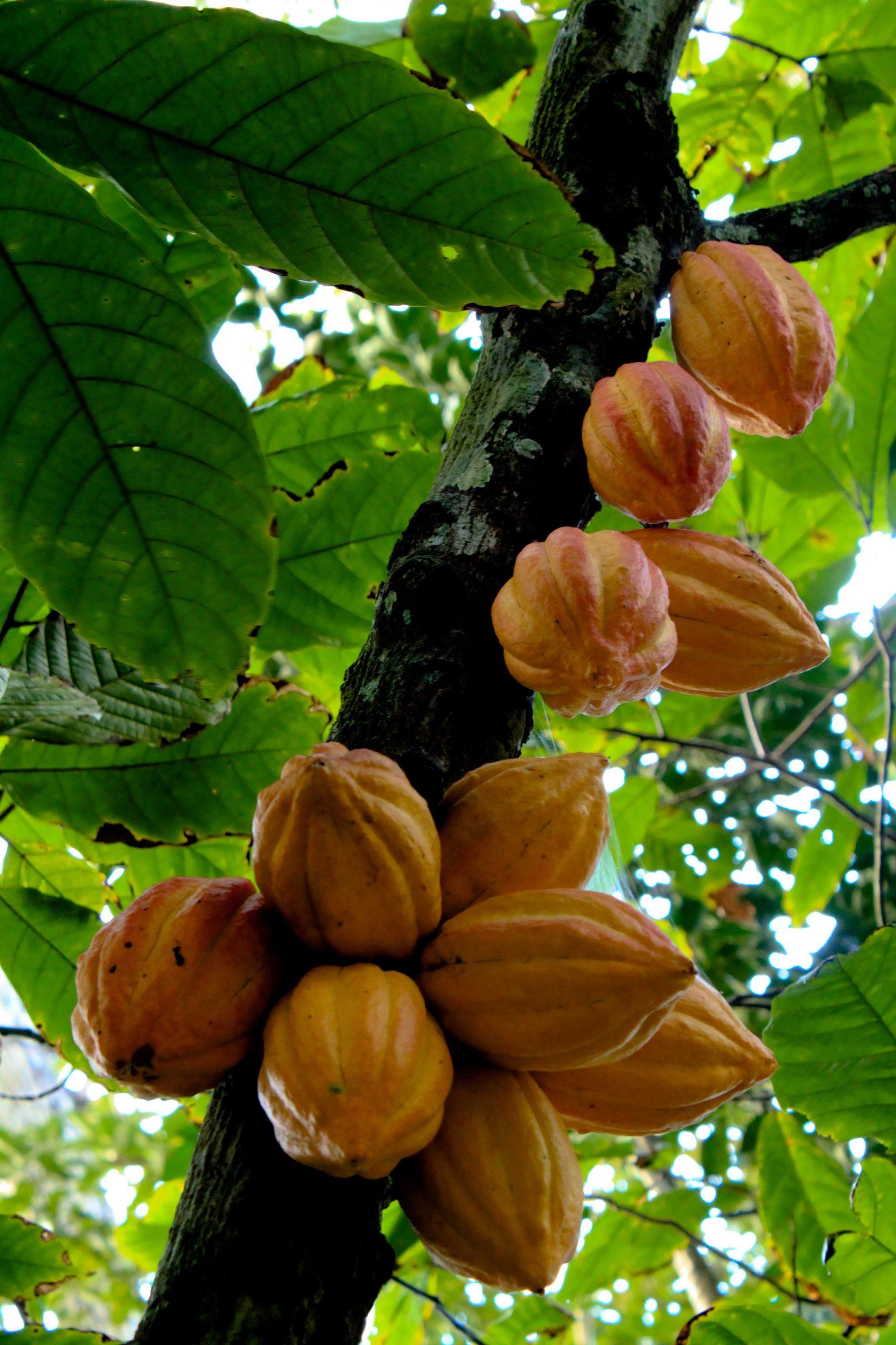 Árbol y frutos de cacao